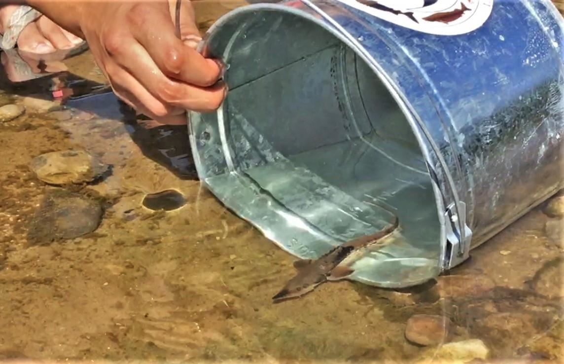 bucket in water for sturgeon release